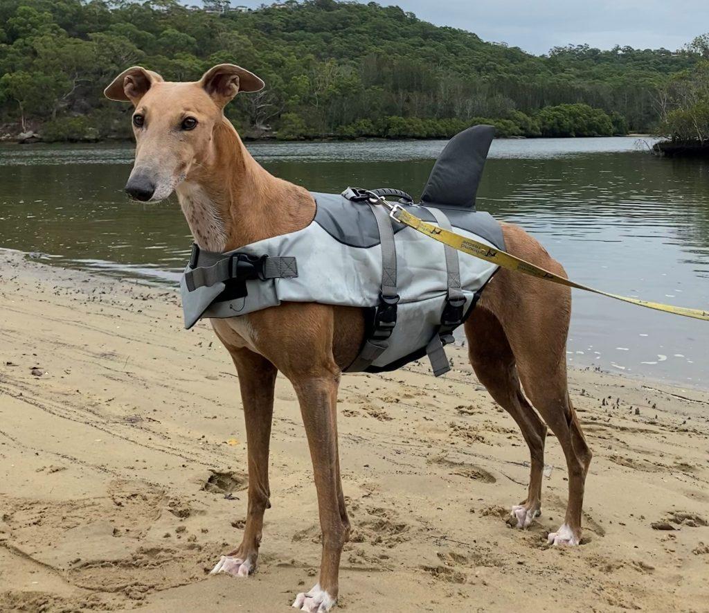 greyhound wearing a swim vest